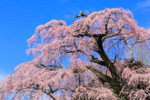貝山薬師桜の写真素材 [FYI02562114]