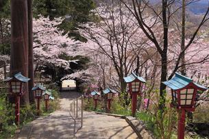 柏尾山大善寺の参道と灯篭にサクラの写真素材 [FYI02562144]