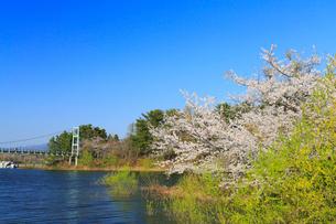 芦野公園の吊橋とサクラの写真素材 [FYI02562187]