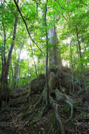 奄美大島 金作原原生林のオキナワウラジロガシの写真素材 [FYI02562205]