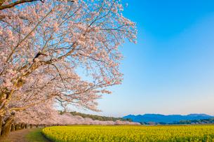 西都原古墳群の桜と菜の花の写真素材 [FYI02563490]