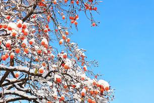 カキに新雪と青空の写真素材 [FYI02563731]