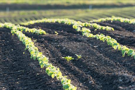 美瑛の丘の小豆畑の写真素材 [FYI02567591]