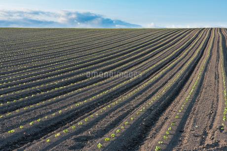 美瑛の丘の小豆畑の写真素材 [FYI02567676]
