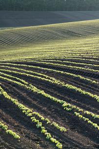 美瑛の丘の小豆畑の写真素材 [FYI02567848]