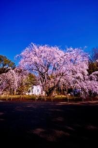 満開に咲く六義園のシダレザクラの写真素材 [FYI02568114]