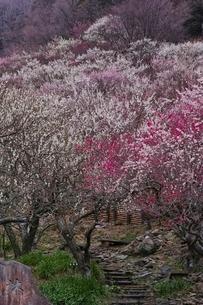 満開に咲く湯河原梅林の写真素材 [FYI02568371]