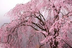 しっとりと雨に濡れる枝垂桜の写真素材 [FYI02568441]