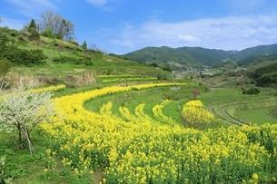 ナノハナ畑と田園風景の写真素材 [FYI02570661]