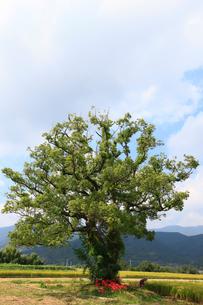 クスノキの大樹と彼岸花の写真素材 [FYI02571017]