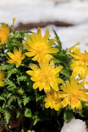 雪の中の福寿草の写真素材 [FYI02571523]