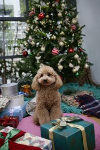 クリスマスツリーの前の犬の写真素材 [FYI02586567]