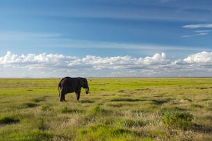 1匹の象の写真素材 [FYI02587648]