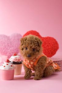 トイプードルのバレンタインイメージの写真素材 [FYI02588550]
