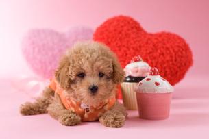 トイプードルのバレンタインイメージの写真素材 [FYI02588672]