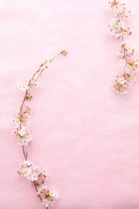 和紙と桜の写真素材 [FYI02613160]