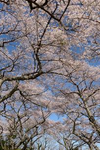 見上げた桜並木の枝の写真素材 [FYI02620459]