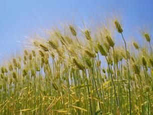 六条大麦の畑の写真素材 [FYI02620765]
