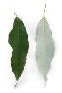 ウラジロガシの葉の写真素材 [FYI02620935]