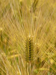 麦秋の六条大麦の写真素材 [FYI02621007]