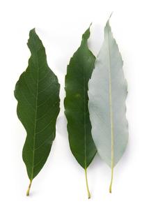 ウラジロガシの葉の写真素材 [FYI02621058]