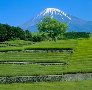 大渕の茶畑と緑樹の富士山の写真素材 [FYI02621178]