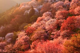 朝日に染まる吉野山 ヤマザクラの写真素材 [FYI02621628]