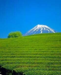 大渕の茶畑と緑樹の富士山の写真素材 [FYI02621658]