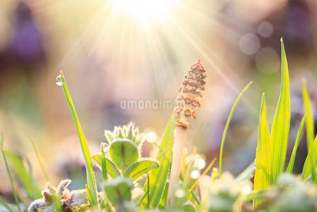 ツクシと朝露に光の写真素材 [FYI02622422]