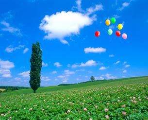 ポプラとジャガイモの花、風船の写真素材 [FYI02622431]