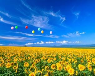 ヒマワリ畑と風船の写真素材 [FYI02622455]