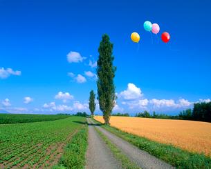 ポプラとビート畑、小麦畑、風船の写真素材 [FYI02622464]