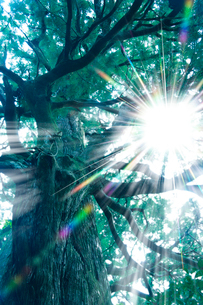 熊野古道 夫婦杉と太陽の写真素材 [FYI02622637]