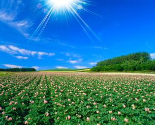 ジャガイモの花畑と太陽の写真素材 [FYI02622720]