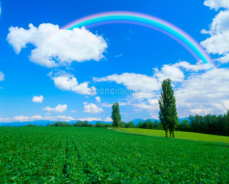 ポプラと小豆畑、虹の写真素材 [FYI02622810]