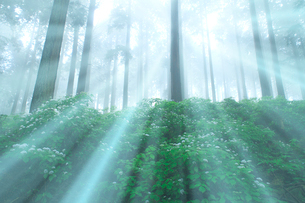 光芒のコアジサイと杉林の写真素材 [FYI02622856]