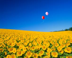 ヒマワリ畑と風船の写真素材 [FYI02622868]