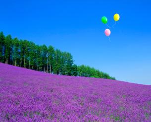 ラベンダー畑とカラマツ林、風船の写真素材 [FYI02623051]