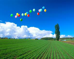 ポプラと秋蒔き小麦畑、風船の写真素材 [FYI02623099]
