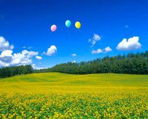 キガラシの花畑と風船の写真素材 [FYI02623135]