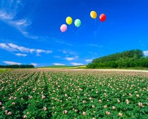 花咲くジャガイモ畑と風船の写真素材 [FYI02623206]