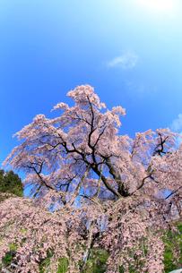 三春の滝桜の写真素材 [FYI02623307]