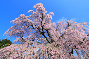 三春の滝桜の写真素材 [FYI02623346]