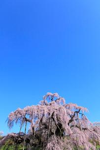 三春の滝桜の写真素材 [FYI02623364]