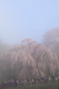 三春の滝桜と朝霧の写真素材 [FYI02623383]