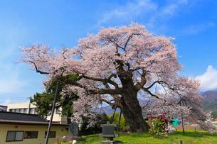 中曽根の権現桜の写真素材 [FYI02623456]