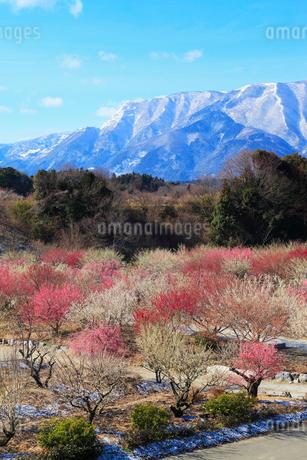 農業公園の梅林 鈴鹿山脈の写真素材 [FYI02623736]