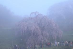 三春の滝桜と朝霧の写真素材 [FYI02623789]
