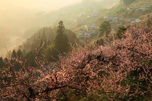 賀名生梅林と雲海の朝焼けの写真素材 [FYI02623799]
