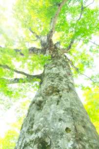 新緑のブナの巨木・マザーツリーの写真素材 [FYI02623822]